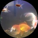Photo of goldfish momma