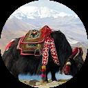 Yac gaur