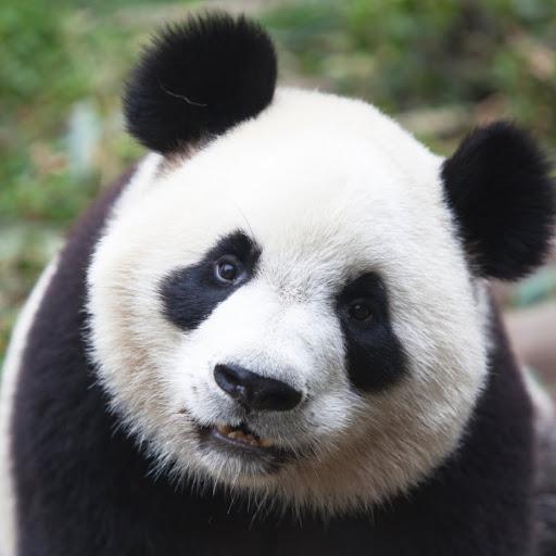 Purgatory Panda