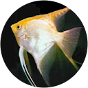 Photo of Angel Fish