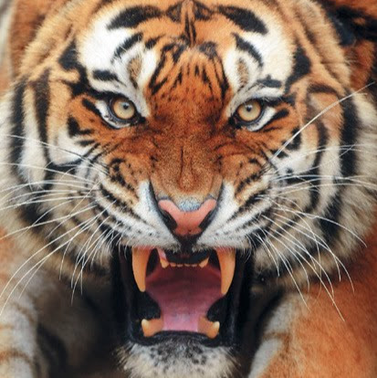 King Tiger Master