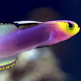 semifirefish