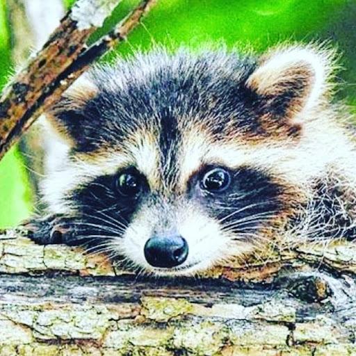 Kawhi raccoon Animations