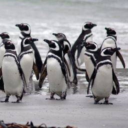 11 Penguins in an unmarked, white van outside