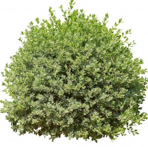 "A ""Flower"" Bush"