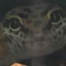 NoodleTheGecko