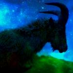 goat on a stick