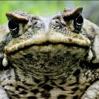 toad odin