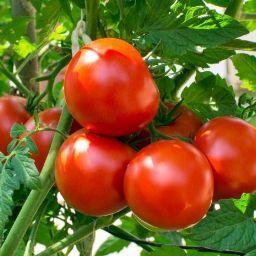 Don Tomato