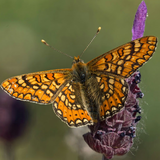 Yulenka Butterfly