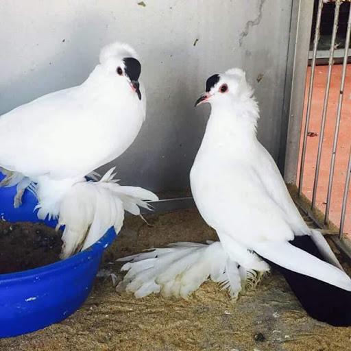 Fancy pigeon & birds station F P B S