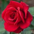 Rose Raziel's profile image