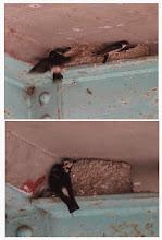 Photo: 撮影者:若狭 誠 イワツバメ タイトル:鉄の橋桁にイワツバメの巣 観察年月日:2014/7/8 羽数:4羽 場所:浅川・浅川橋下 区分:繁殖5① メッシュ:八王子6K コメント:浅川橋は鉄の橋桁のためかイワツバメの繁殖は未確認でしたが、2013年に鉄の橋桁と橋板の僅かな隙間にイワツバメが巣を作りました。2014年には育雛中の巣2個が確認できました。