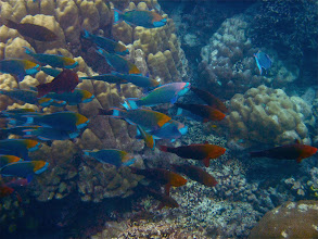 Photo: a large school of male and female dusky parrotfish swimming around the reef