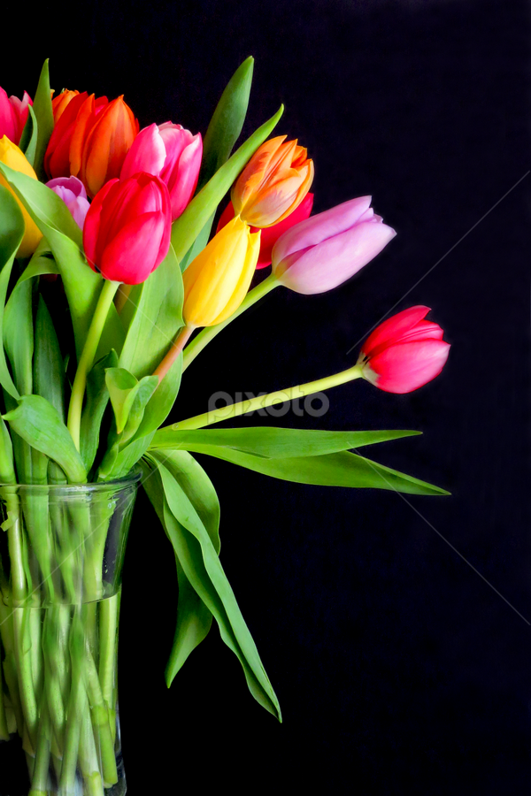 Tulips in Vase by Jane Spencer - Flowers Flower Arangements ( vase, pastel, bulbs, tulips, hardy, spring, multicolored,  )
