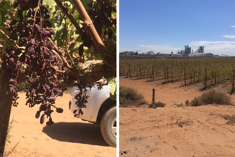 As a result of higher temperatures and less water, Nico Greeff's grape farm, Begin Boerdery, is producing 60% of its usual crop.Images: NICO GREEFF