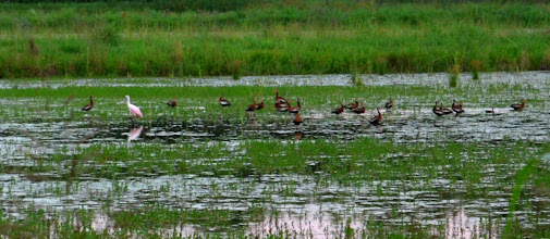 Photo: roseate spoonbill and black bellied whistling ducks (sorry for blurry photo) photo by Chris Adams
