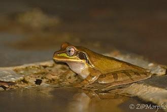 Photo: Masked Tree Frog @ Tiki Villas Lodge, Uvita