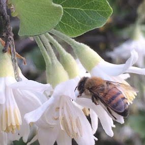 Bee on flower by Annie Cator - Nature Up Close Other Natural Objects ( bees, pollen, bee, blossom, flower )