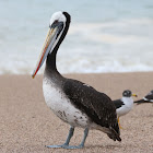 Peruvian Brown Pelican