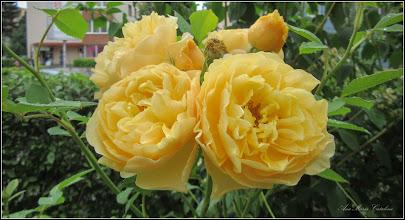 Photo: Trandafir ( Rosa) - de pe Calea Victoriei, nr.102-104, Cofetaria Savarina, spatiu verde zona cofetarie - 2017.06.17