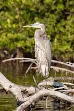Photo: Great Blue Heron (Kanadareiher); Rio Lagartos, YUC