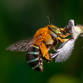 Amegilla bee at work by Dom Del - Animals Insects & Spiders ( macro, bee, flower,  )