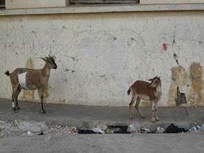 Photo: Cute goats that run around everywhere!