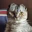 WISHMASTER SCOTTISH FOLD CATTERY (Owner)