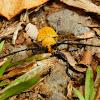 Plagiohammus pollinosus