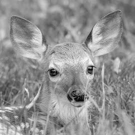 Portrait of a fawn in black and white by Debbie Quick - Black & White Animals ( deer, debbie quick, nature, young, white-tailed deer, nature up close, natures best shots, youngster, debs creative images, new york, national geographic, wildlife photography, spring, animal photography, baby, animal, black and white, dutchess county, fawn, wild, hudson valley, nature photography, poughkeepsie, wildlife )