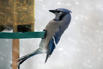 Photo: For #BirdPoker : Cuteness Factor Curated by +Phil Armishaw  A Blue Jay pretending to be a Woodpecker.