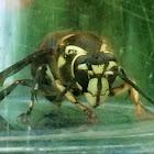 Baldfaced Hornet