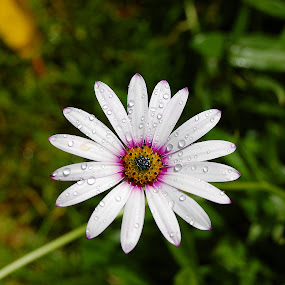 Daisy by Kevin Morris - Nature Up Close Flowers - 2011-2013 ( garden nature, daisy, bloom, flower )