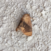 Inverted Y Slug Moth