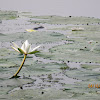 Shapla or Water lily (white)