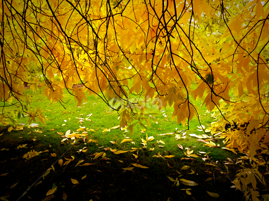 yellow fall by Adrian Konopnicki - Nature Up Close Leaves & Grasses ( leaves yellow park autumn fall, pwcfallleaves, nature, tree, grass )