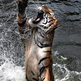 Kungfu Fighting by Abdul Kadir - Animals Lions, Tigers & Big Cats