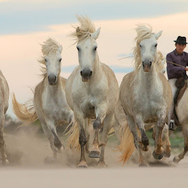 Galloping on the sand by Helen Matten - Animals Horses ( galloping, sand, wild, gardians, horses, camargue, white, sea, france )