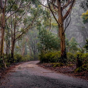 Braceys Rd by David Spillane - Landscapes Forests ( mountain, sultry, fog, australia, trees, bush, nsw, forest, road, lithgow, mountain ash, country, mist )