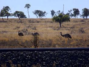Photo: Die Emus ziehen nach Westen