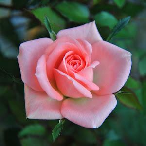 Rose 100413 02.jpg