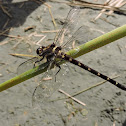 New Zealand Bush Giant Dragonfly