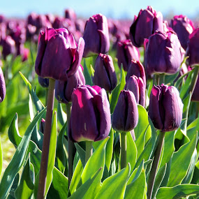Lovely Purple by Becky Luschei - Flowers Flower Gardens ( purple, favorite color, lovely, skagit valley wa, tulips, fields )