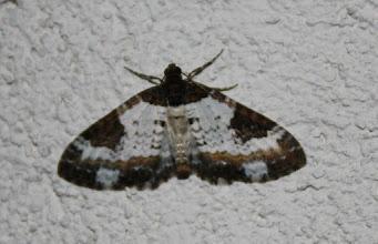 Photo: Melanthia procellata    Lepidoptera > Geometridae