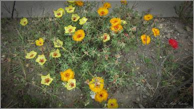 Photo: Floarea de piatra (Portulaca) - de pe Str. Mihai Viteazul - 2017.09.02