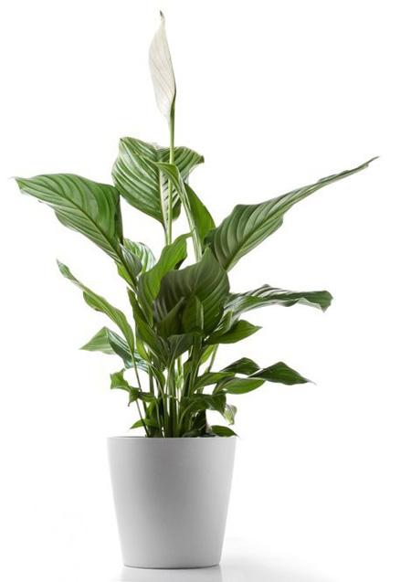5 loại cây xanh tốt trong nhà thiếu sáng - a1F2UMh1pis03uOulL6Z2rRSghrlGJWI9l k2QSTFl8=w450 h637 no