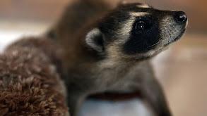 Raccoons Gone Wild thumbnail