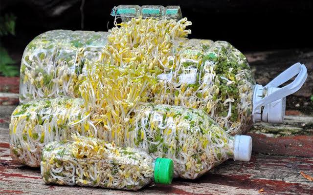 Cách trồng giá đỗ mập, an toàn bằng chai nhựa
