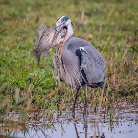 breakfast by Marjan Gresl - Animals Birds ( mouth, fish, gray heron, breakfast, birds, lake )
